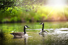 Canada Geese (Branta Canadensis). Wild Bird Goose In Back Light Morning