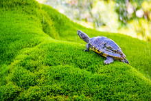 Turtle Resting On Wet Moss