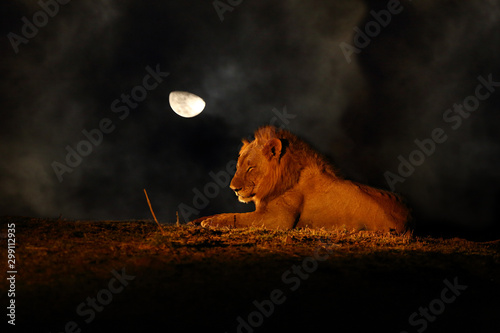 Photo The Southern Lion (Panthera leo melanochaita) also East-Southern African Lion or Kruegeri