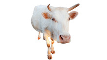 White Cows Isolated On White B...