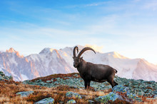 Wild Goat (Alpine Carpa Ibex) In The France Alps Mountains. Monte Bianco Range With Mont Blanc Mountain On Background