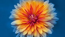 Autumn Chrysanthemum Flowers C...