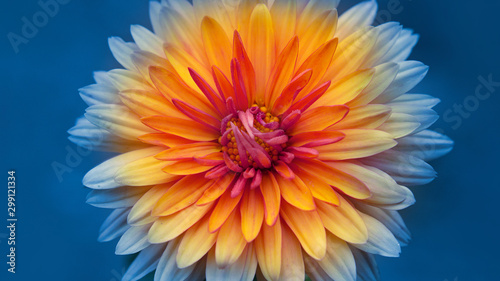 Obraz autumn chrysanthemum flowers close-up on a blurred background. - fototapety do salonu