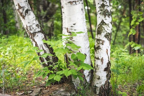 Fond de hotte en verre imprimé Bosquet de bouleaux White birches growing in an alley in park for relaxation.