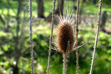 Dry Thistle Heads Closeup In S...