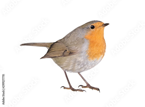 Robin (Erithacus rubecula) isolated on white background Wallpaper Mural