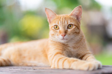 Close-up Of Ginger Tabby Cat Lying And Looking For Something With The Home Garden Background.