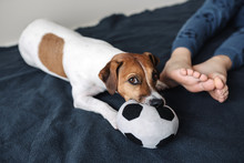 Cute Dog Jack Russell Terrier ...