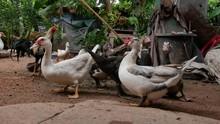 Feeding Domestic Ducks And Chi...