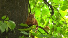 Squirrel Gnaws  Nut In The Aft...