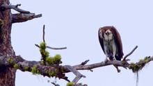 Osprey Hawk Eats Fish Branch B...