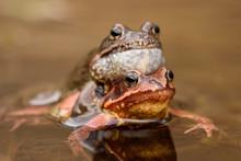 European Common Frog (Rana Tem...