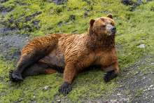 Rescued Brown Bear Relaxes At The Fortress Of The Bear, In Sitka, Alaska