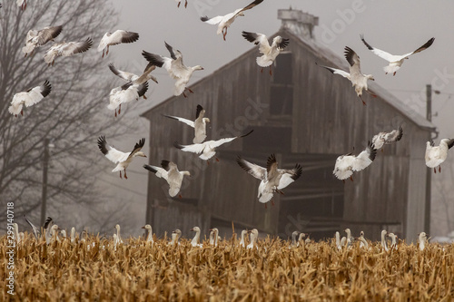 Obraz na plátne Snow Geese land to feed in a harvested corn field in Eastern Pennsylvania during the Spring migration