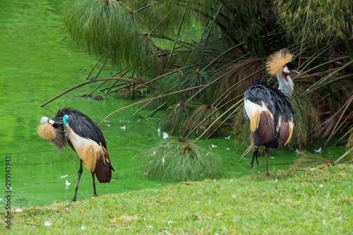 beautiful grey crowned cranes in natural habitat at summer sunny day