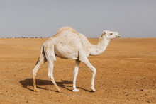 Beautiful White Camel Dromedar...