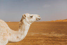 Beautiful White Camel Dromedary In The Desert. Close Up View Of The Head.