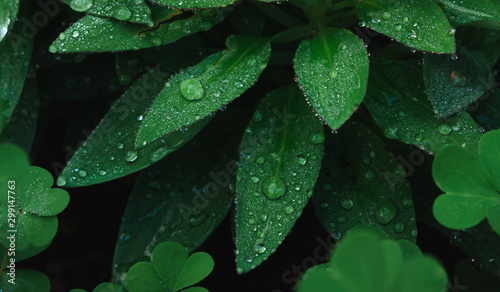 Fototapeta  Close-up of morning dew on green leaves and dark background