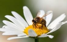 Bee Or Honeybee On White Flower Of Common  Daisy
