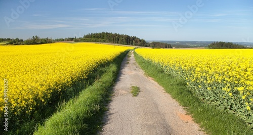 Field of rapeseed, canola or colza, #299153327