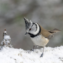 Crested Tit In The Winter Forest