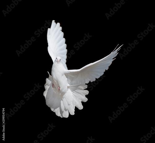 Valokuvatapetti White dove on black background