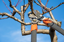 Pruning Fruit Tree With Prunin...