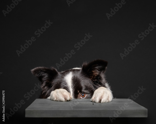 Black and white border collie hiding behind grey stool