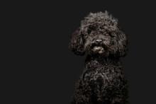 Black Poodle Poses On Dark Grey Background