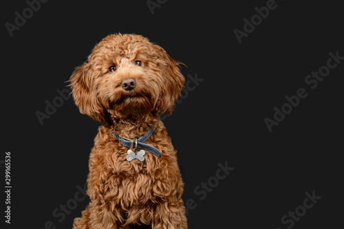 Tableau sur Toile Red cockerpoo poses on grey background