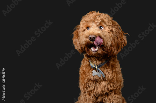Red cockerpoo poses on grey background Canvas Print
