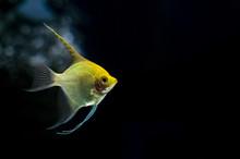 Close-up Of Angelfish In Aquarium.