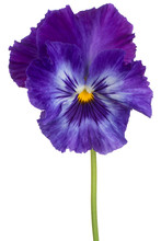 Viola Flower Isolated