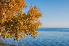 An Autumn Oak (Quercus) Branch...