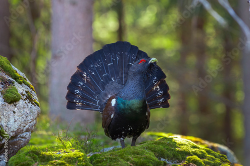 Fotografie, Tablou Capercaillie (Tetrao urogallus) male in the central european forest