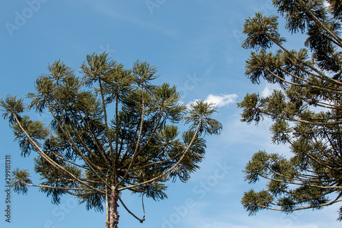 The Endangered Brazilian Pine Tree Known as the Araucaria also found in parts of Canvas Print