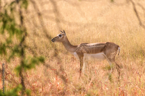 Photo A lone female blackbuck seen through the foliage in the grasslands of the Velavadar National Park in Gujarat, India