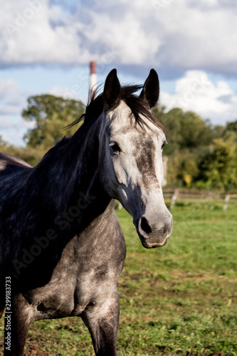 Fototapeta Portrait of gray horse in summer