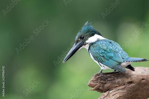 Photo Brazilian Kingfisher bird sitting on branch profile