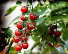 Beautiful Red Ripe Cherry Tomatoes
