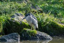 Black Crowned Night Heron Standing Near Water