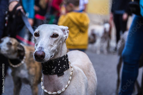 Portrait of a white smiling Spanish Greyhound Galgo dog on the street with a bea Fototapete