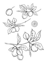 Lemon Tree Branch With Lemons,...