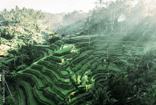 Wall Murals Rice fields southeastasia. Aerial drone view. Landscape of the ricefields and rice terrace Tegallalang near Ubud of the island Bali in indonesia in
