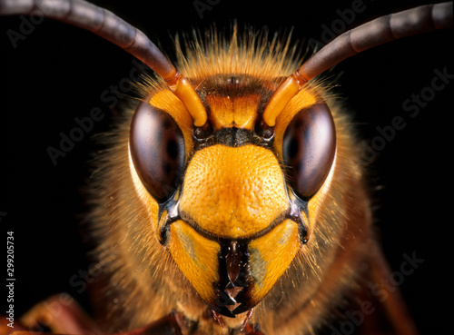 Vászonkép Close-up view of head of live European hornet (Vespa crabro)--the largest eusocial wasp native to Europe (4 cm); introduced to North America