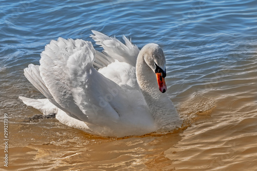 Fotobehang Zwaan Beautiful adult swan swimming on a lake in summer sunset