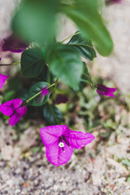 Purple Bougainvillea Plant Out...