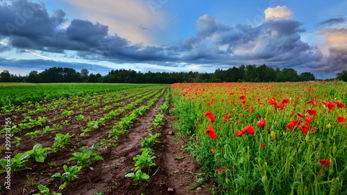 Foto auf Gartenposter Schokobraun A poppy field and a beta field in Latvia
