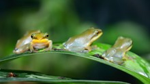 Young Chinese Flying Frog Rhac...