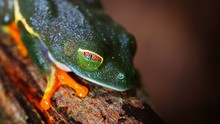 Red-eye Tree Frog  Agalychnis ...